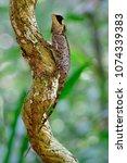 Small photo of Beautiful long tail and Ugly Black face greater spiny lizard (agamid) perching on small tree in nature