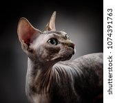 portrait of a sphynx on a dark... | Shutterstock . vector #1074391763