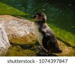 penguin in the zoo | Shutterstock . vector #1074397847
