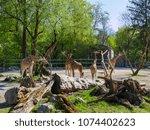 giraffes in the zoo | Shutterstock . vector #1074402623