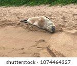 hawaiian monk seal   Shutterstock . vector #1074464327