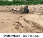 hawaiian monk seal shy   Shutterstock . vector #1074464333