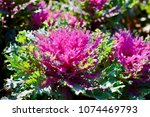 Small photo of ornamental kale, coral queen kale, purple shades abound in this frilly head with morning light in the garden, soft focus.