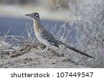 A greater roadrunner in Anza Borrego Desert State Park. - stock photo