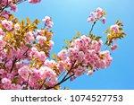 beautiful almond tree flowers...   Shutterstock . vector #1074527753