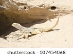 A male mohave fringe-toed lizard in front of its burrow at the Kelso Dunes in the Mojave National Preserve. - stock photo