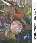 "Small photo of ""Hemiplecta Distincta"" is a snail found in the northeast and north of Thailand."