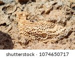 petrified sea corals on the... | Shutterstock . vector #1074650717