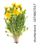 Small photo of Dandelion flowers with green leaves isolated on white background. Taraxacum officinale