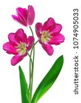 spring flowers tulips isolated... | Shutterstock . vector #1074905033
