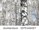 Birch Trees With White Bark...