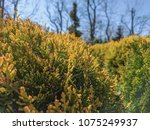 conifer green nature background | Shutterstock . vector #1075249937