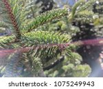 conifer green nature background | Shutterstock . vector #1075249943