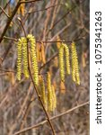 Small photo of Yellow flowering earrings of an alder tree Alnus in early spring