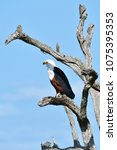 Small photo of African fish eagle in Kruger National park in South Africa, region Berg en Dal
