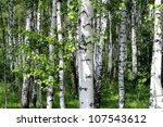 Beautiful birch trees in a summer forest - stock photo