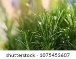 fresh rosemary growing in... | Shutterstock . vector #1075453607