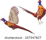 ring necked pheasant flying and crowing