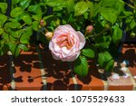 beautiful pale pink heritage...   Shutterstock . vector #1075529633