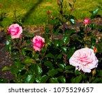 beautiful pale pink heritage...   Shutterstock . vector #1075529657