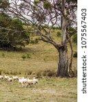 Small photo of Sheep in a Tasmanian paddock