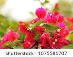 beautiful blooming... | Shutterstock . vector #1075581707