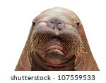 Walrus Head Isolated Over White