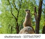 meerkats in the zoo | Shutterstock . vector #1075657097