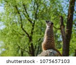 meerkats in the zoo | Shutterstock . vector #1075657103