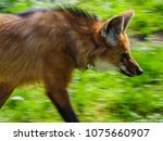 maned wolves in the zoo | Shutterstock . vector #1075660907