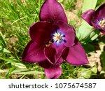 bee on a tulip | Shutterstock . vector #1075674587