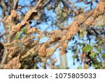 Small photo of Close up on fruit tree branch defoliate by tent caterpillars in the garden