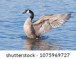 a profile of a canada goose as...   Shutterstock . vector #1075969727