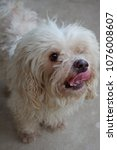 Small photo of Beautiful white pet cute young mammal portrait for one domestic breed background natural small hairy fur puppy close up