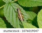 Marsh Meadow Grasshopper (Chorthippus parallelus) at Crex Meadows Wildlife Area, Wisconsin