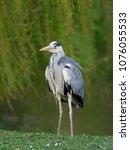 grey heron. ardea cinerea ... | Shutterstock . vector #1076055533