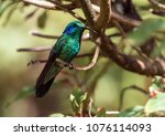 Small photo of Close-up of colorful green hummingbird with purple ear patch perching on branch in a coffee plantation near Boquete,Panama.The scientific name of this bird is Colibri cya.