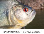 head of a black piranha out of... | Shutterstock . vector #1076196503