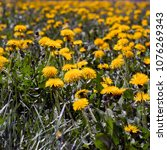 Small photo of Medicinal herbs: Spring field of yellow dandelions (Taraxacum officinale)