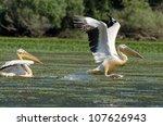 white pelicans in danube delta   Shutterstock . vector #107626943