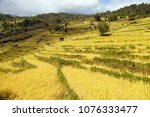 Golden Terraced Rice Or Paddy...