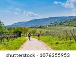 cyclists on grape mountain. ... | Shutterstock . vector #1076355953