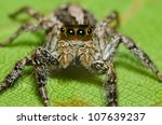 Jumping Spider On Green Leaf...