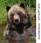 the grizzly bear also known as...   Shutterstock . vector #1076397353