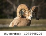Big Horn Sheep   Ovis...
