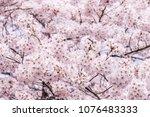 beautiful blooming cherry... | Shutterstock . vector #1076483333
