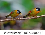 beautiful golden bird  couple... | Shutterstock . vector #1076630843