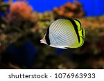 Small photo of Vagabond Butterflyfish - Chaetodon vagabundus