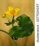 caltha palustris  marsh...   Shutterstock . vector #1077024197