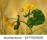 caltha palustris  marsh...   Shutterstock . vector #1077024203